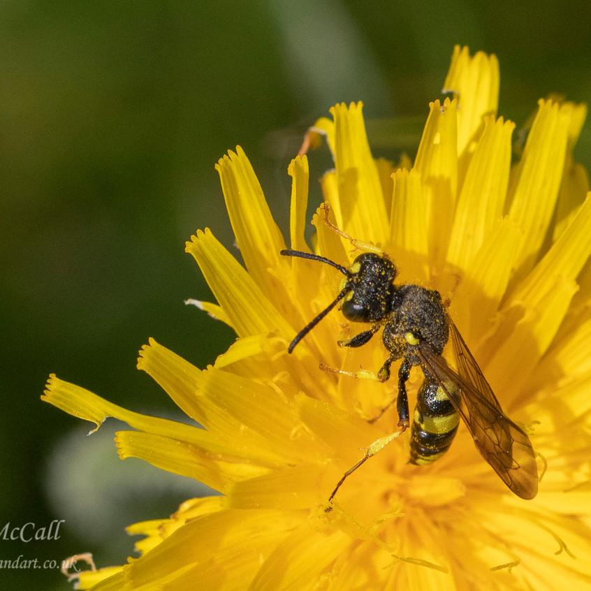 Digger Wasp  _Martin Downs