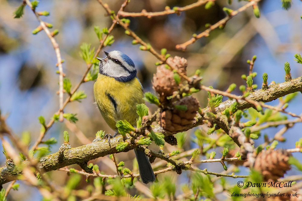 Blue Tit singing in a larch tree