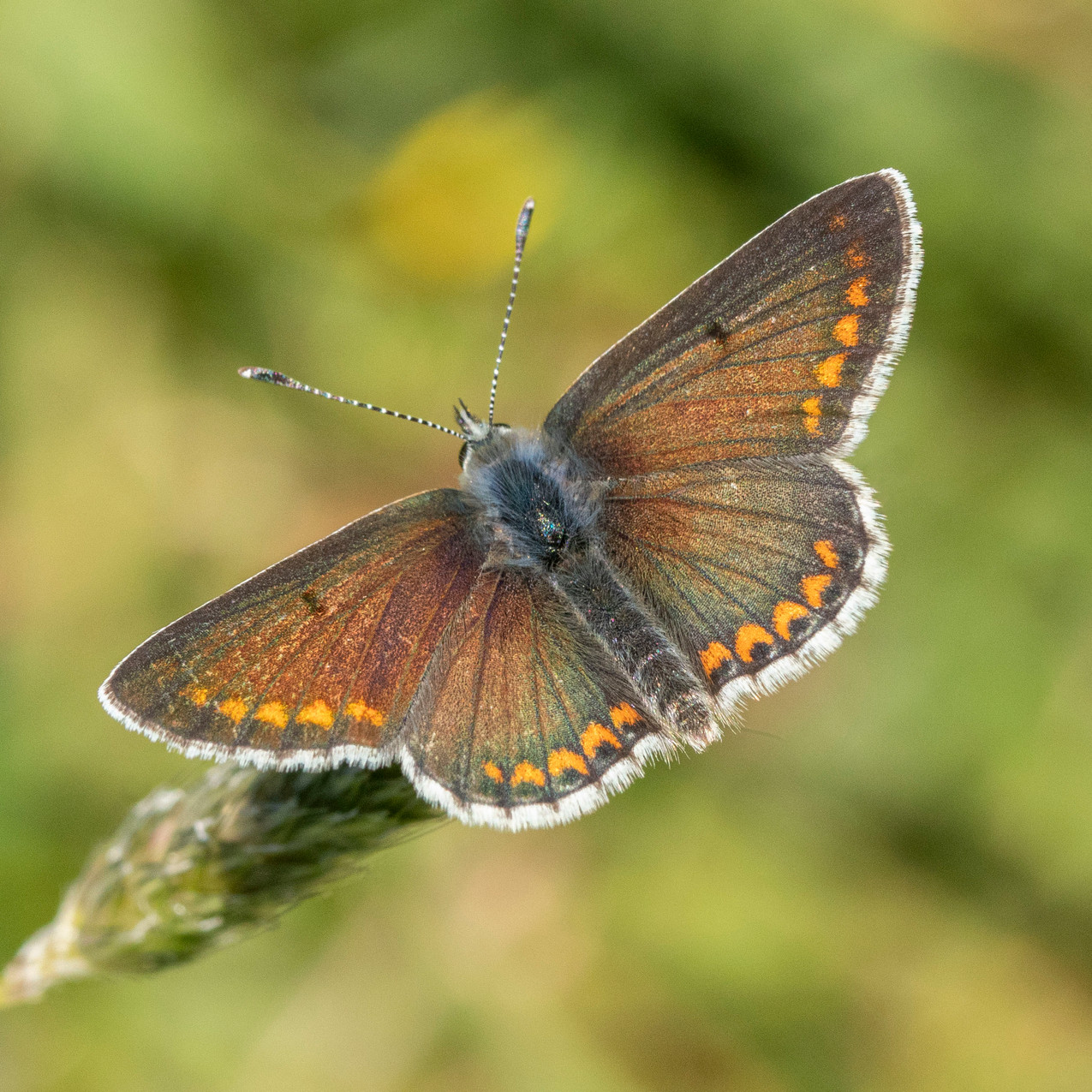 25th May 2020 _ Male Brown Argus _Hatton