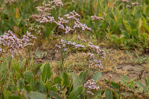 22nd August 2021 _Common Sea-lavender _Gibraltar Point _26.jpeg