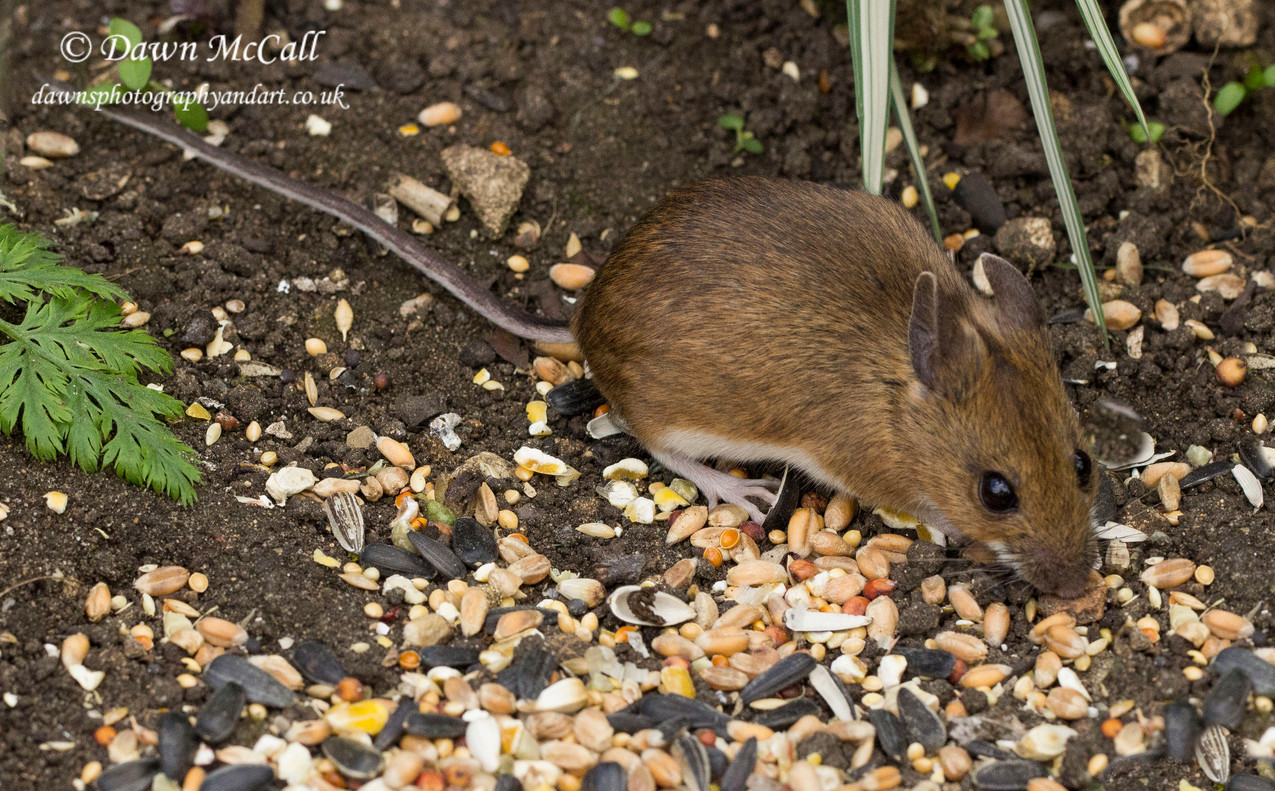 18th April 2017  _Wood Mouse_Bunkers Hill Garden _  Water Marked 03