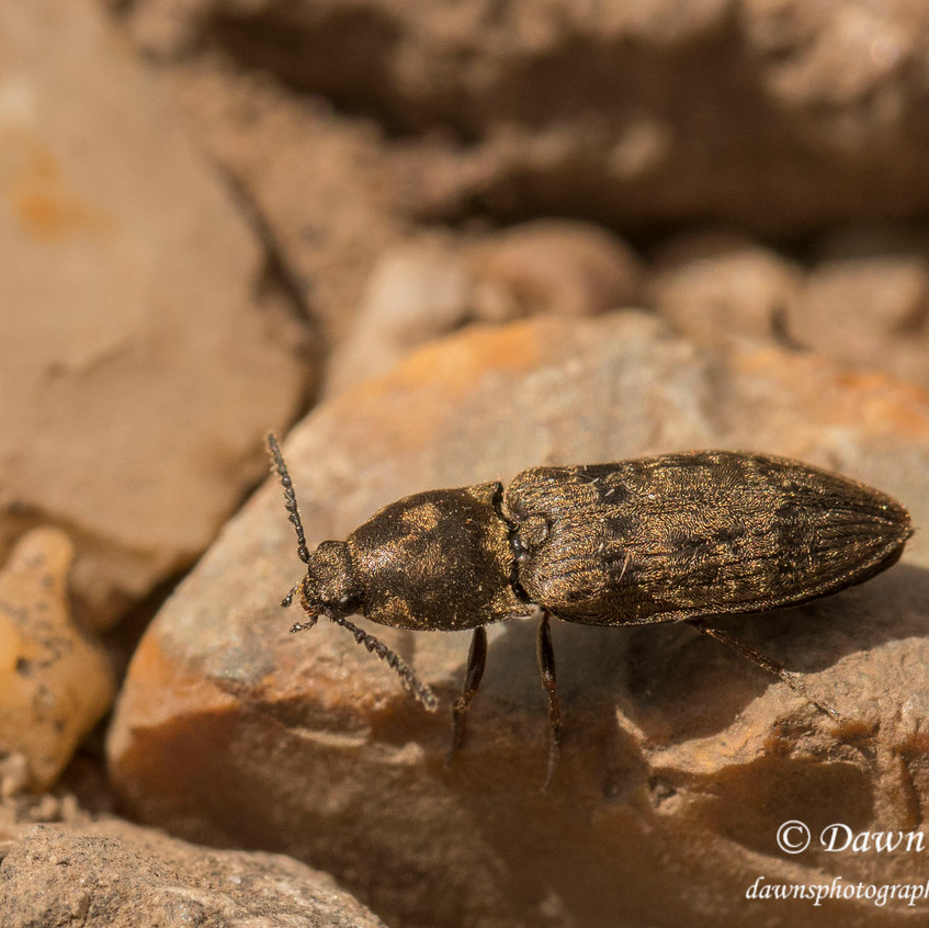 9th May 2018_ Chequered Click Beetle_ Prosternon tessellatum_Kirkby Moor _16_ Watermaked