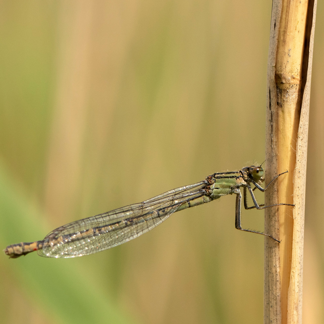 13th June 2019_ Damselfly_ Upton Broad a