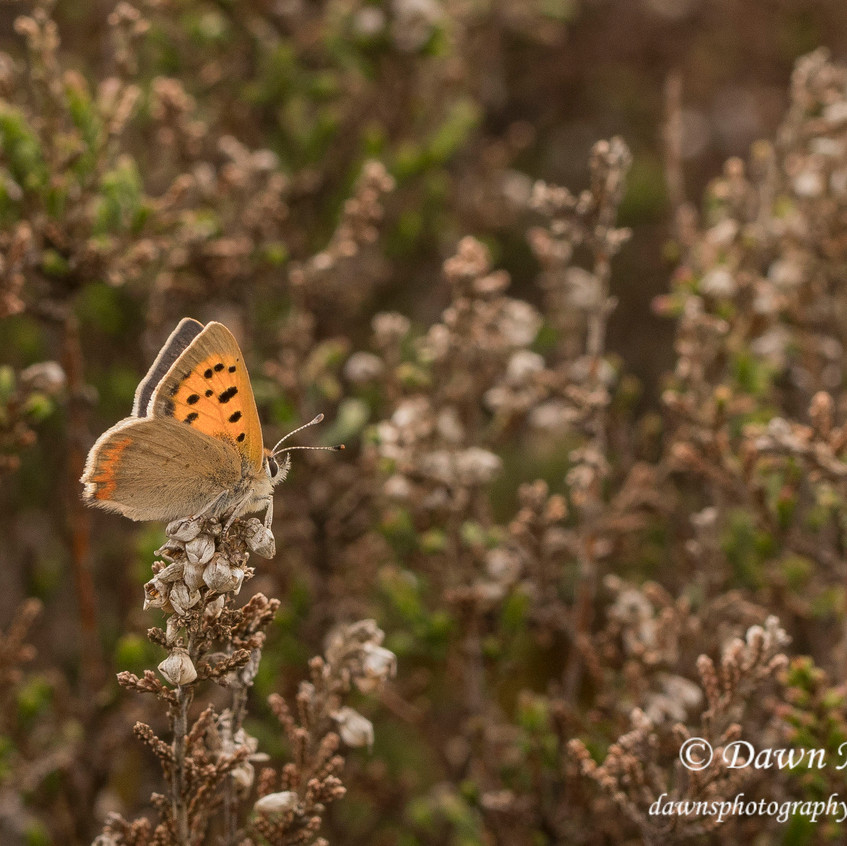 9th May 2018_ Small Copper _Lycaena phlaeas _Kirkby Moor _05_ Watermaked