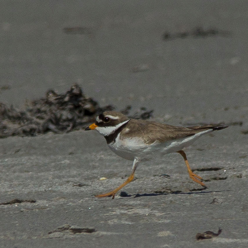 20th June 2017_ Ringed Plover_Ardalanish Bay _05