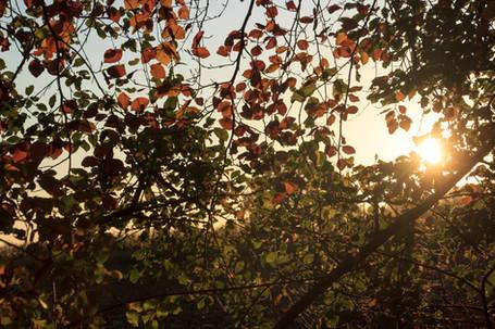 Beech Leaves in the Morning Sun