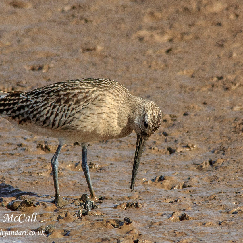 5th October 2017_ Bar-tailed Godwit_Gibraltar Point Nature Reserve _19W
