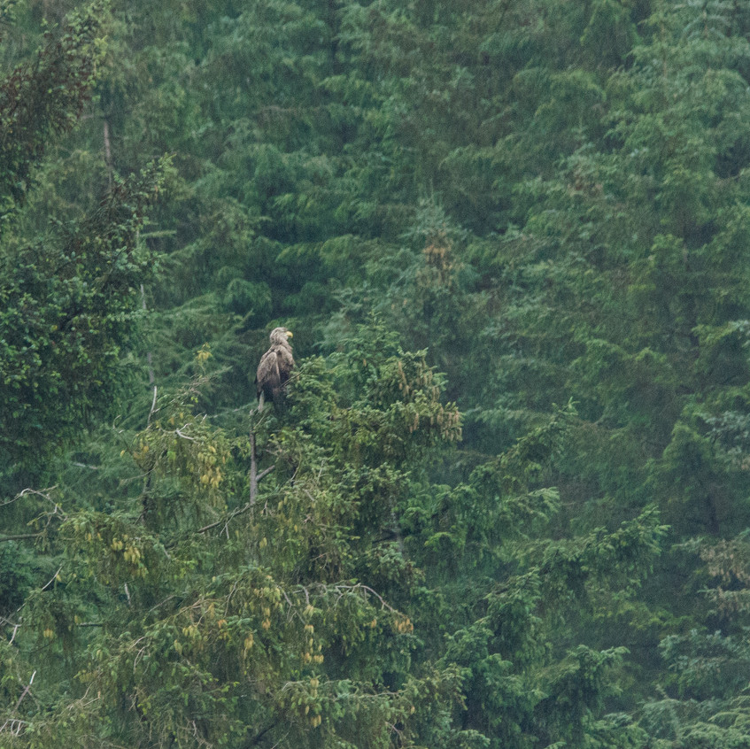 18th June 2017_ White Tailed Sea Eagle_  Wildlife Tour Mull_ 01