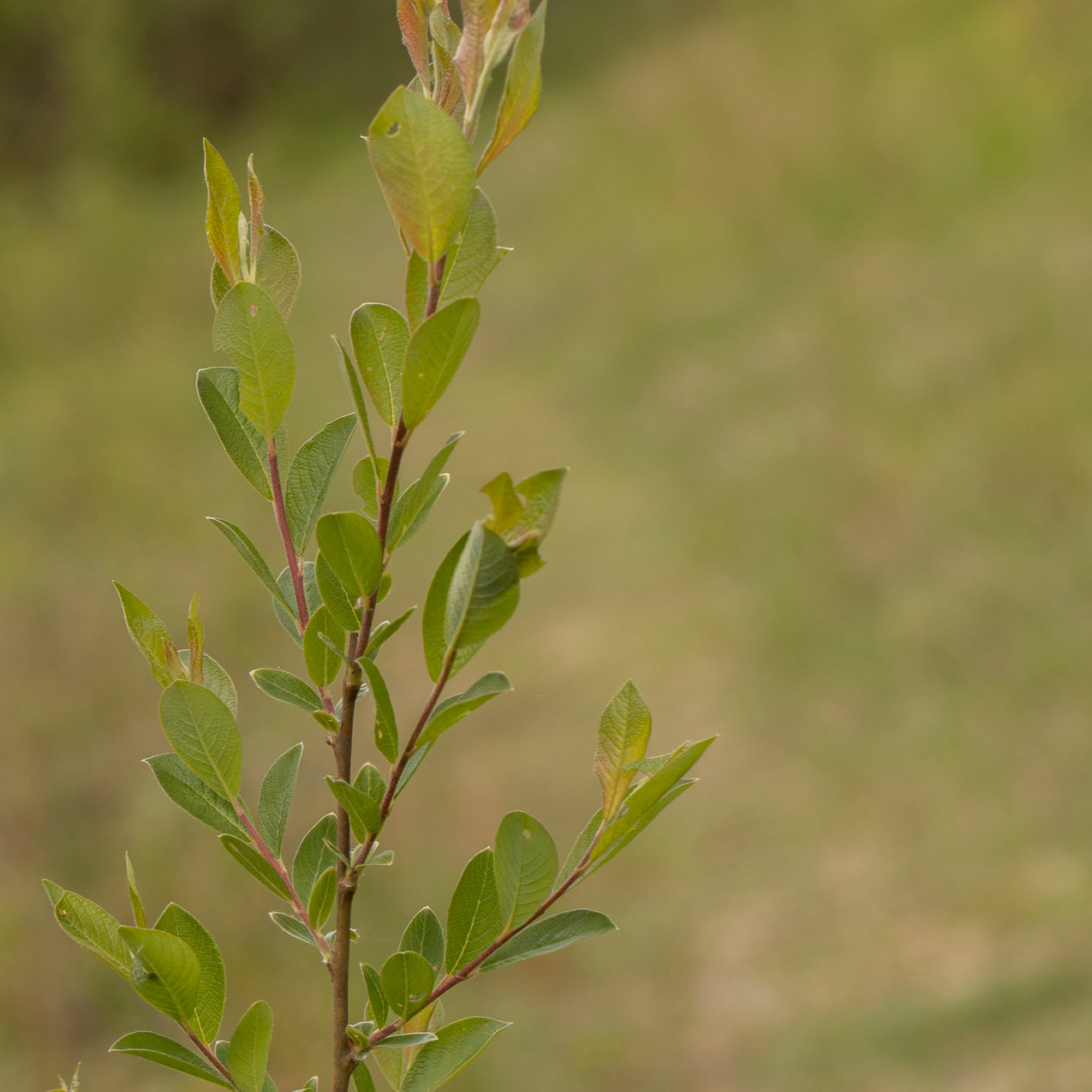 13th May 2020 _Bay-leaved Willow _Snakeh