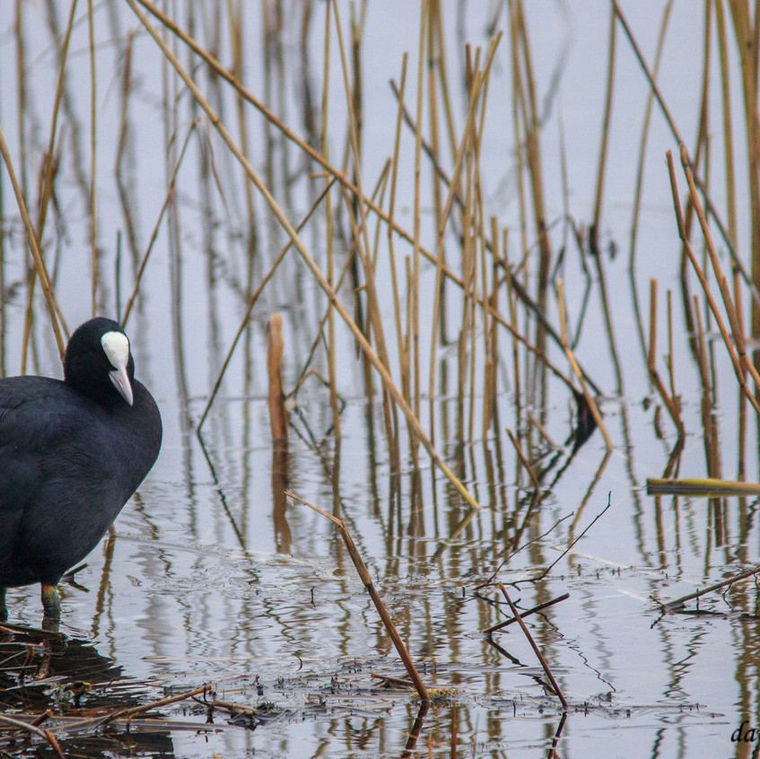 21st Feb 2018_ Coot_  Kirkby Gravel Pits_ watermarked_ 03