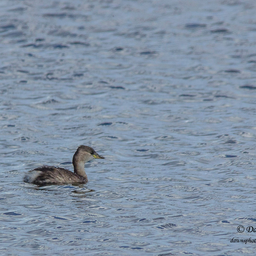 5th October 2017_ Little Grebe_Gibraltar Point Nature Reserve _03W