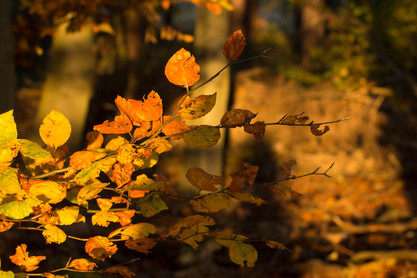 Autumn Leave in Morning Sun, Tunman Wood