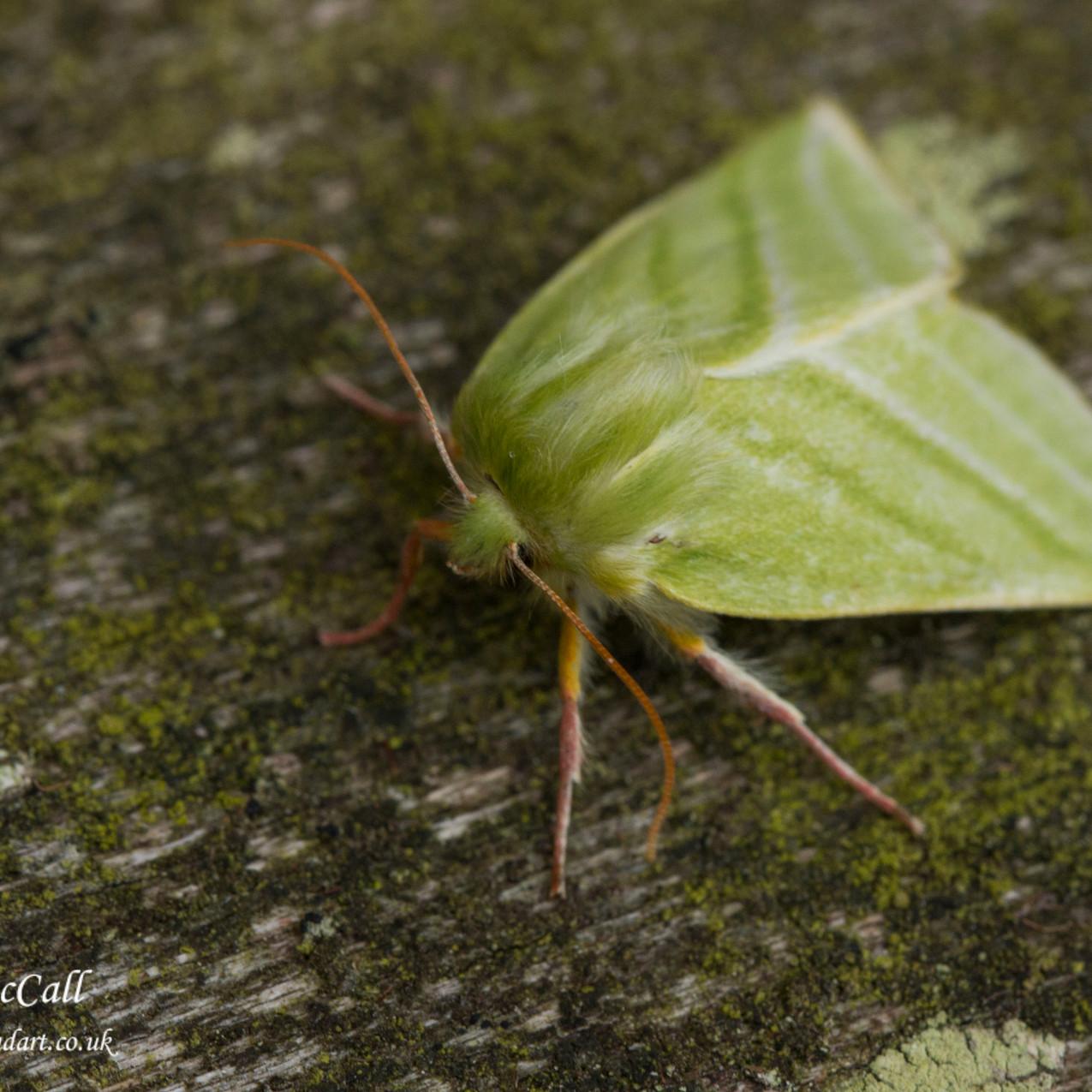 19th June 2017_ Green Silver Lines Moth_Base Leob _24WM