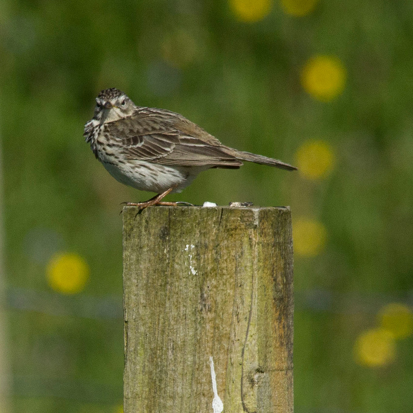 20th June 2017_ Meadow Pipit_Ardalanish Bay _10