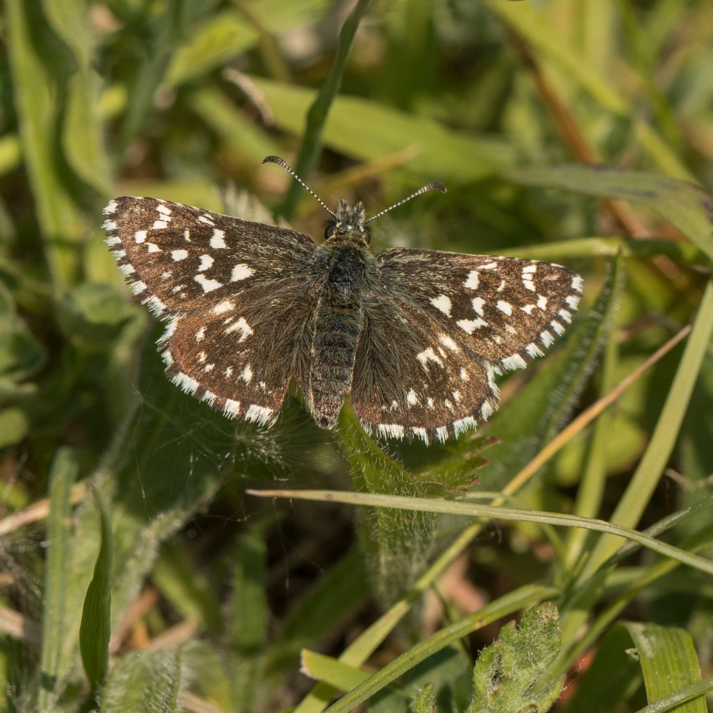 23rd May 2018 _ Grizzled Skipper Butterfly _Pyrgus malvae _Twyford Wood _16_edited