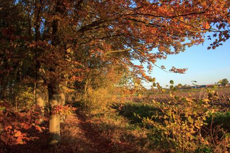 Autumn Beeech trees in Morning Sun