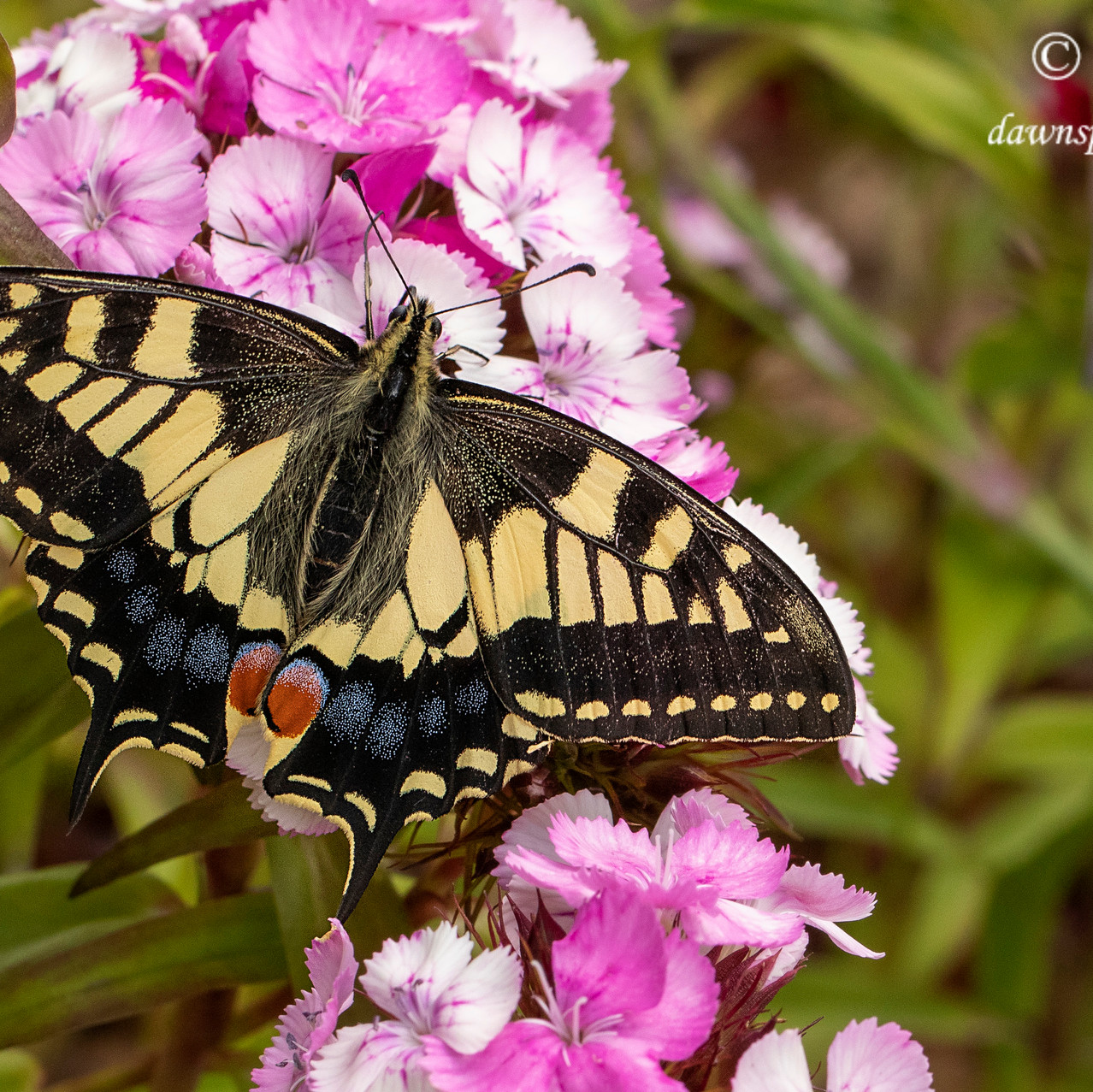 14th June 2019_ Swallowtail Butterfly_ R