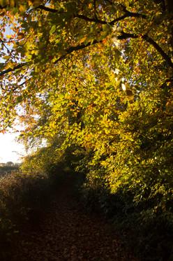 Beech tree at Sunrise, Tunman Wood