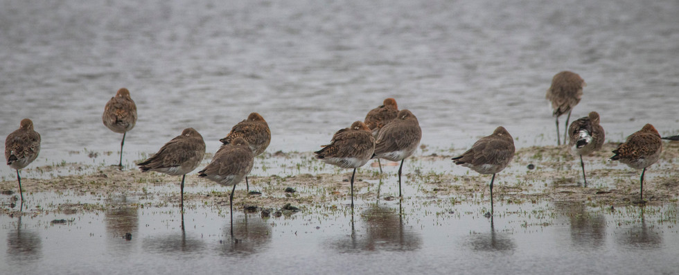11th June 2019_ Black- tailed Godwits _