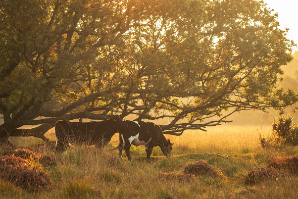 Sunlit cows at  Linwood Warran
