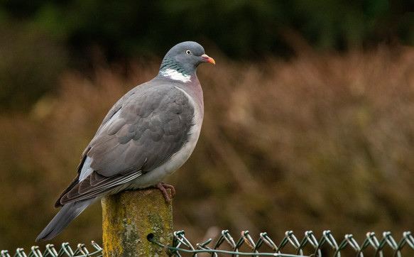 10th March 2021_ Wood Pigeon_ Allotment_