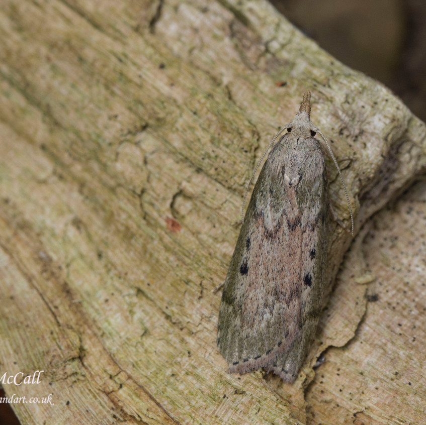 24 May 2017  _Bee Moth_Bracebridge Heath Garden _ 01