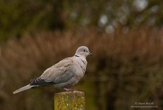 10th March 2021_ Collared Dove_ Allotmen