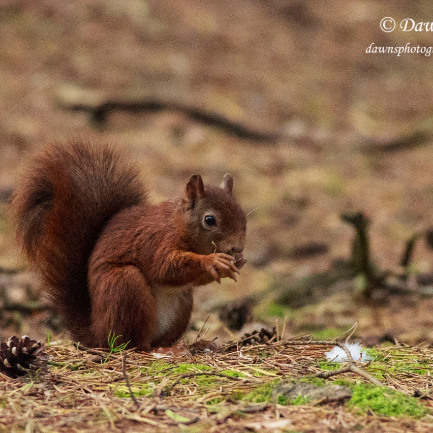6th Oct 2016  _Red Squirrel _Formby_S27