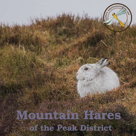 Hares of the Peak District