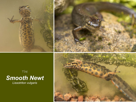 A Look at the Smooth Newt