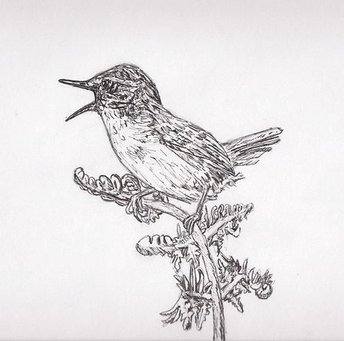 Singing Wren Drawing