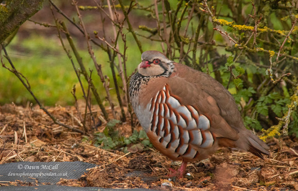 10th March 2021_ Red-legged Partridge_ A