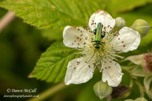14th June 2019_ Fat-legged Flower Beetle