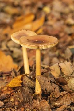 16th September 2020 _Mushroom _Linwood w