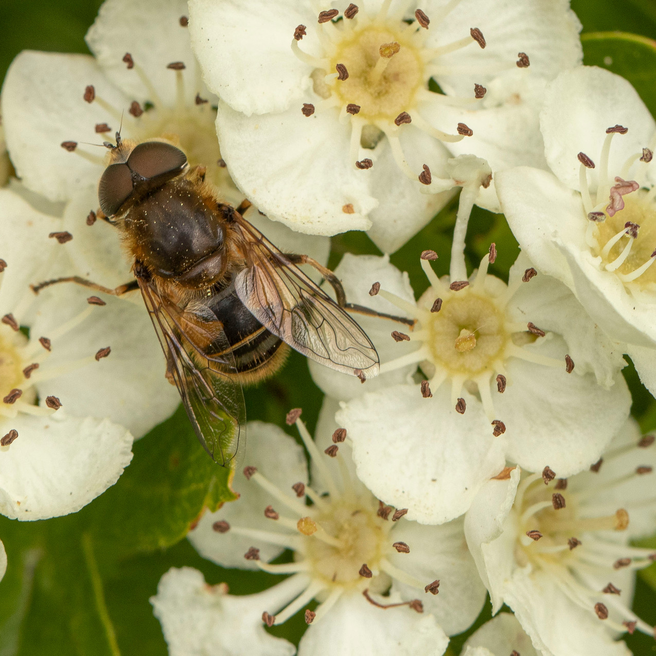 13th May 2020 _Hoverfly _Snakeholme Pits