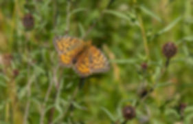 19th July 2020 _Dark Green Fritillary _R