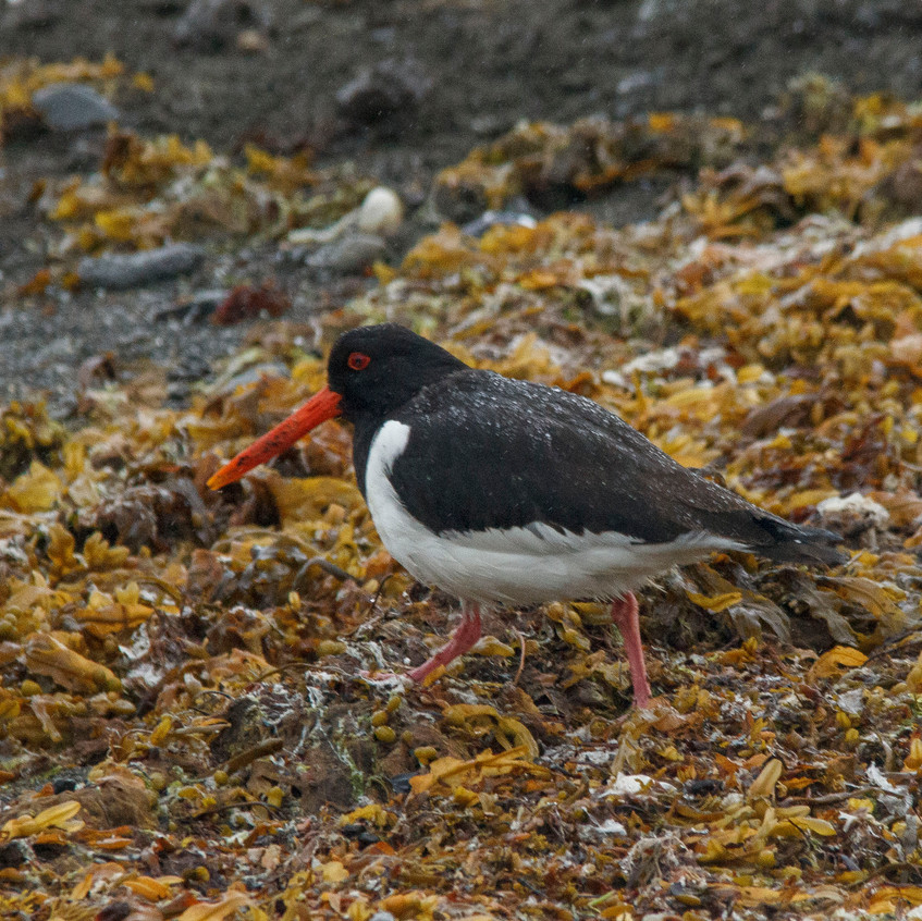 18th June 2017_ Oystercatcher  _Loch Scridain _04