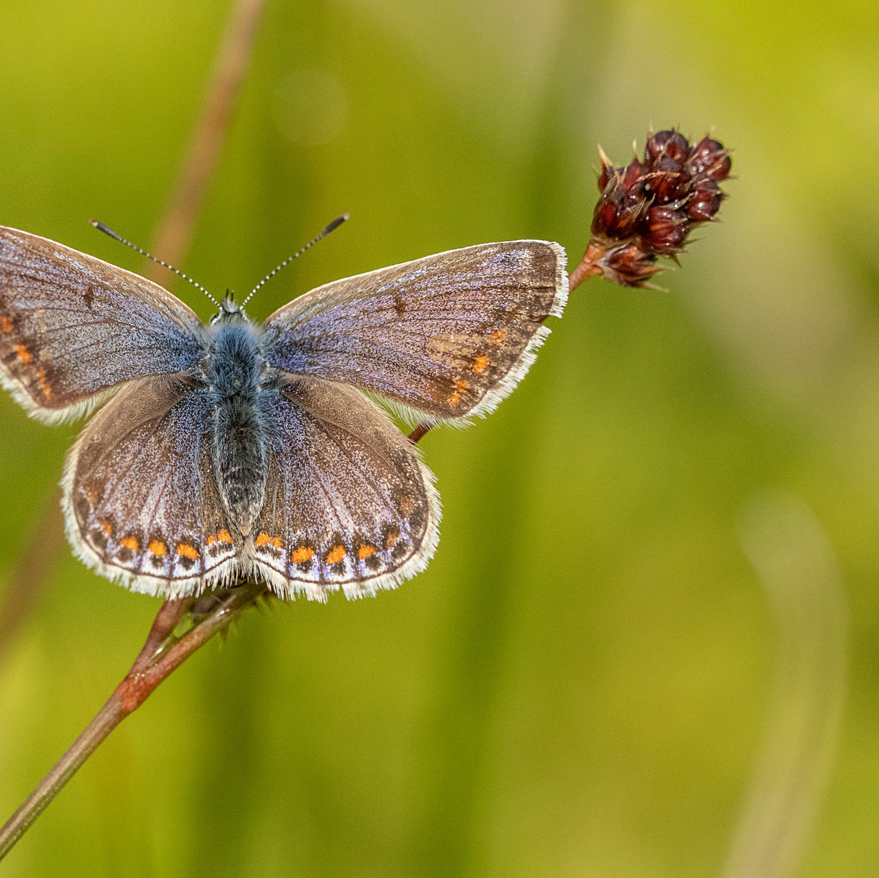 13th June 2019_ Common Blue Butterfly_ U
