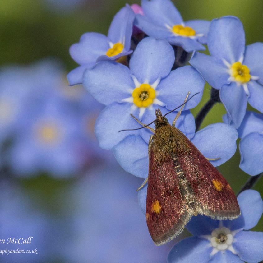19th April 2017  _Mint Moth_ Bracebridge Heath Garden _ 02