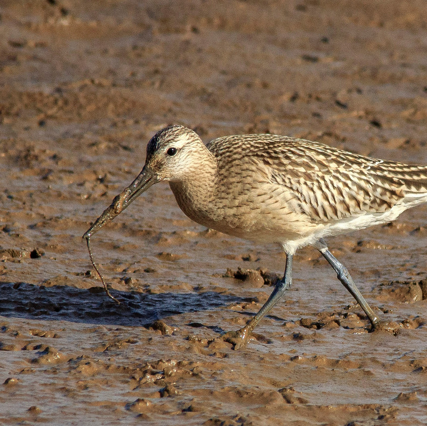 5th October 2017_ Bar-tailed Godwit_Gibraltar Point Nature Reserve _21W