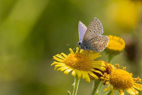 A4 Common Blue Butterfly