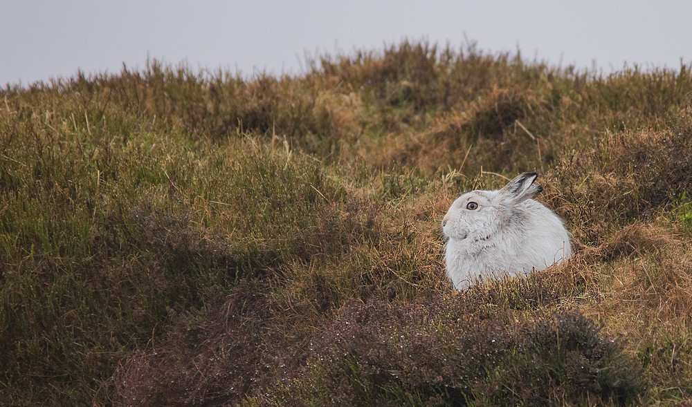 When the snow melts the white hares stands out against the dark moorland.