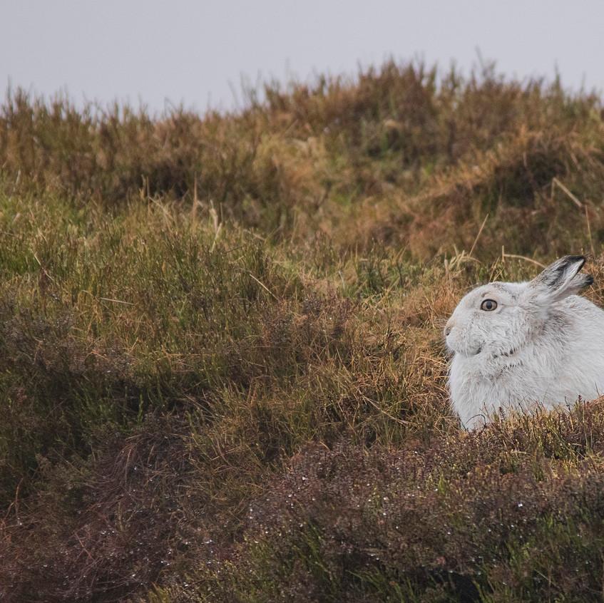 10th February 2019_ Mountain Hare_ Bleak
