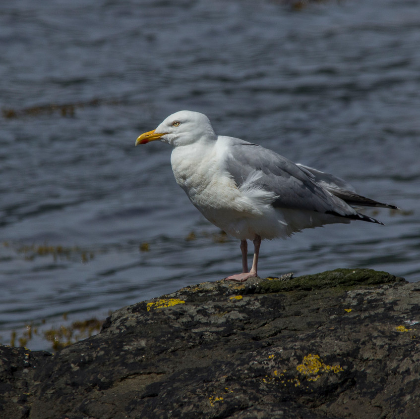 20th June 2017_ Herring Gull_Loch Scridain Pennyghael Coast _06