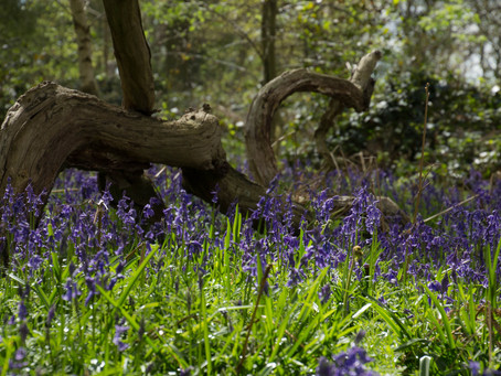 The Bluebell Hunt