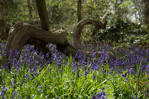 A4 Bluebells at Neville Wood