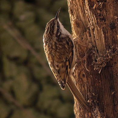30th March 2019_ Treecreeper_ Moor Farm_