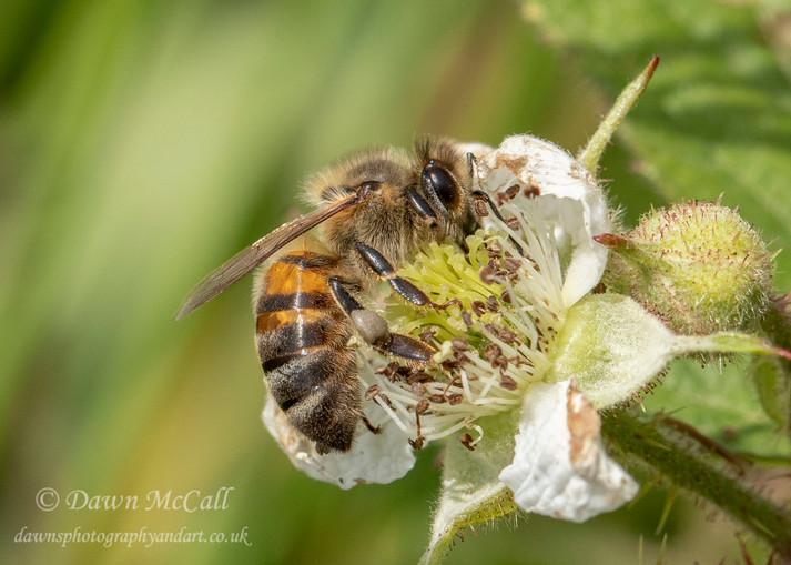 13th June 2018 _ Honey Bee_Martin Downs