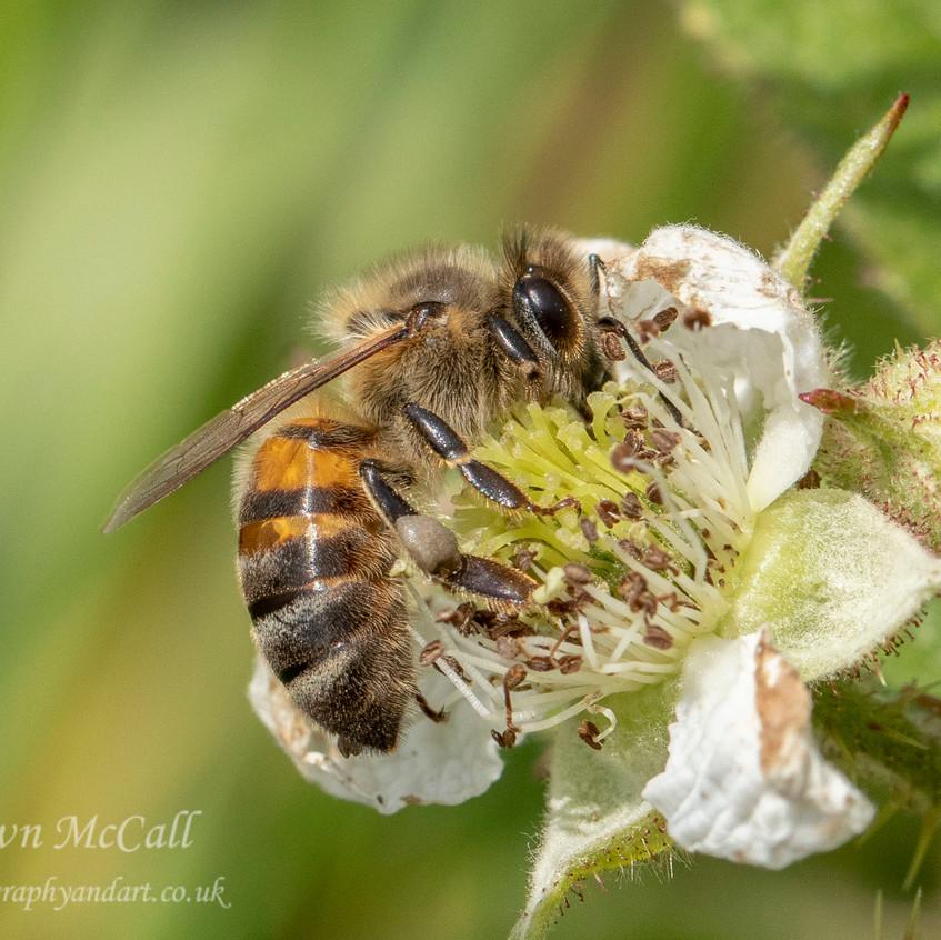 Honey Bee_Martin Downs