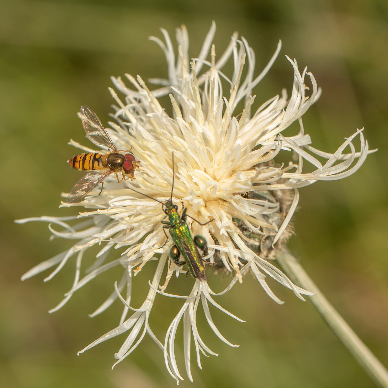 30th June 2020 _White Greater Knapweed _